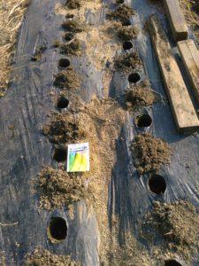 マルチに深さ10cmの穴をあける(掘る)