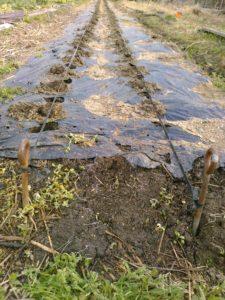 植穴が雨で沈まないようビニールロープを張ります