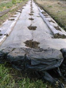 植穴に透明マルチをかけて完成