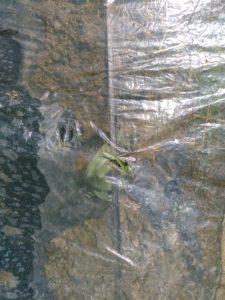透明マルチの下ですくすく育った苗