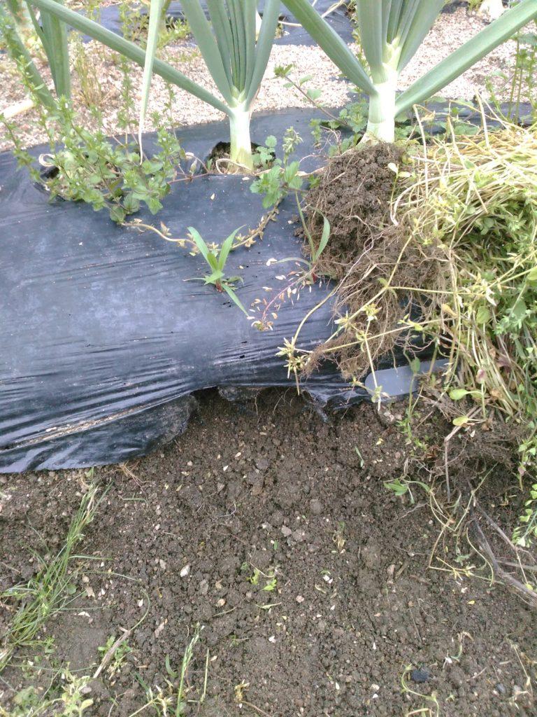 雑草を引き抜くとたまねぎの根が見えます。根は大切に。すぐに土を戻しておきます。