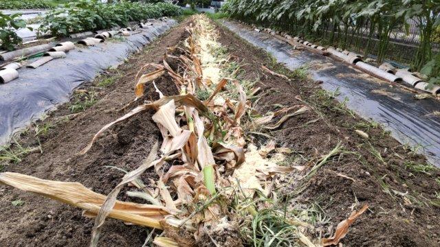 畝を割りとうもろこしの収穫残渣を埋める