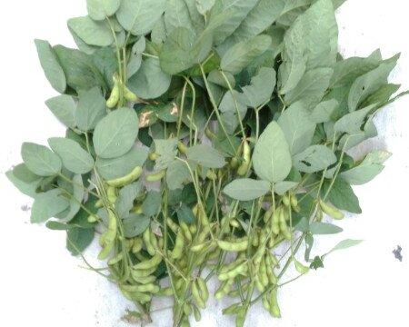 収穫適期の枝豆、株の下部のさやがぷっくりと十分膨らむと収穫の適期です