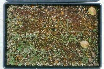 移植適期を迎えたアトンの苗です