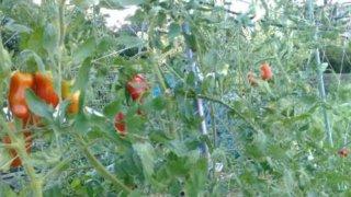 トマトのソバージュ栽培、最盛期を迎えました