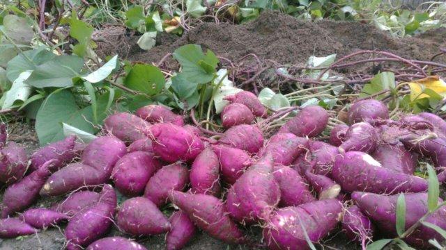 収穫したさつまいも、品種はべにはるか