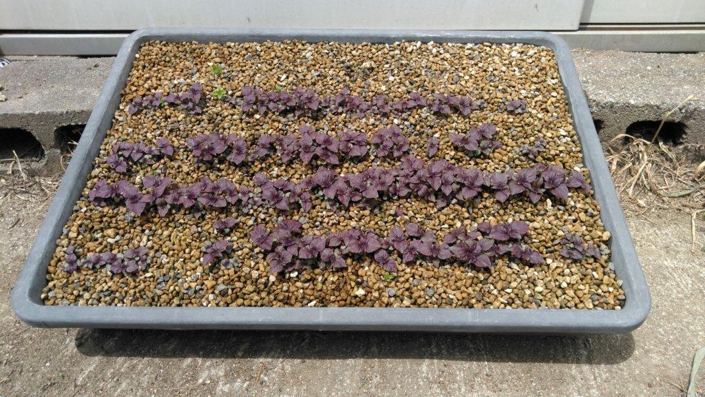 赤しその苗、播種後約1か月の様子