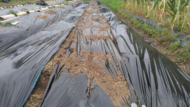 さつまいも用の畝に黒ビニールマルチを張った