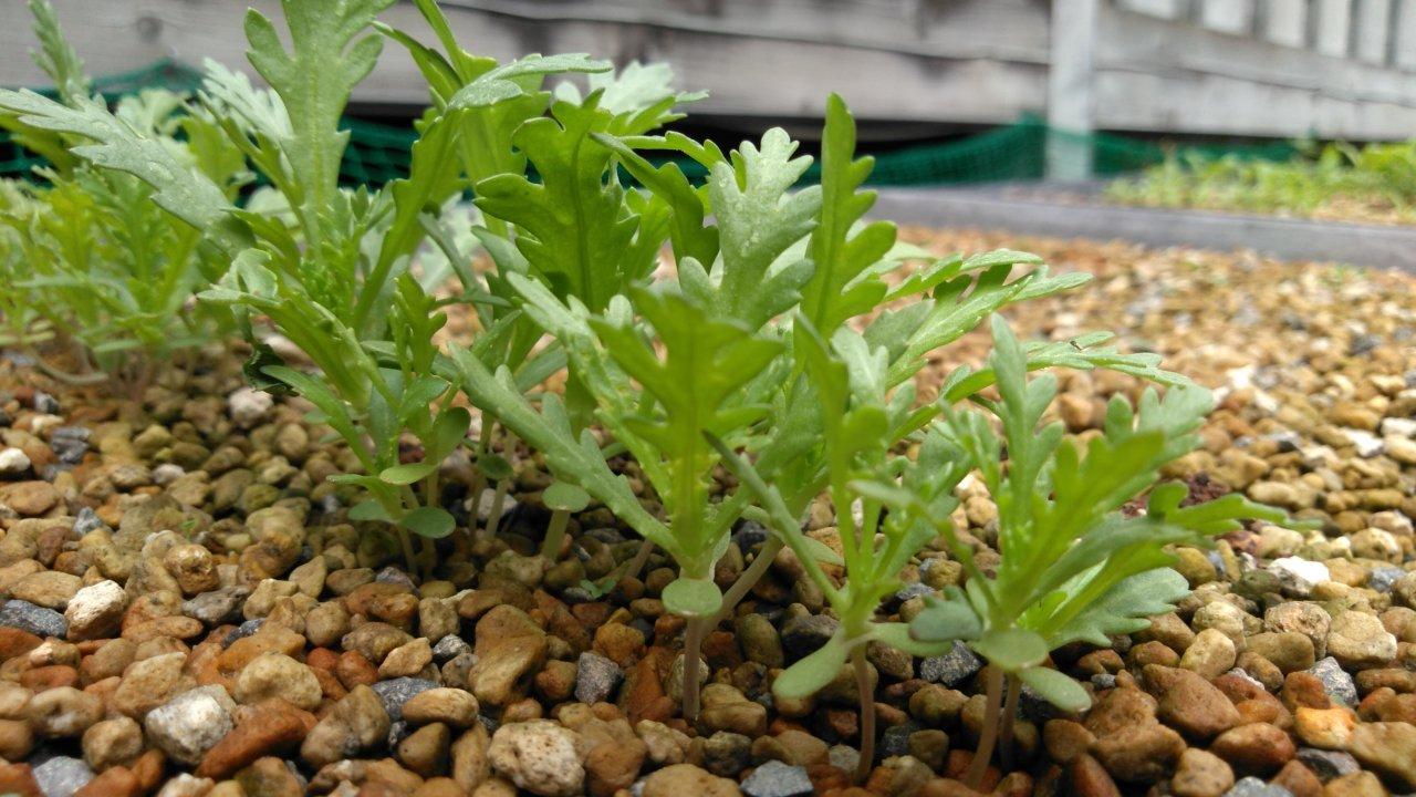移植適期の春菊の苗
